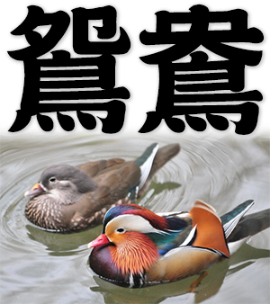 mandarin ducks, pair of mandarin ducks